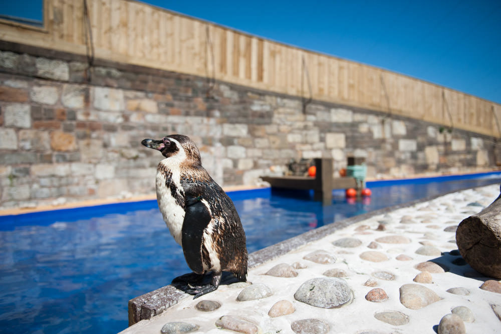 The arrival of the penguins at St Andrews Aquarium - 24 May 2013 -
