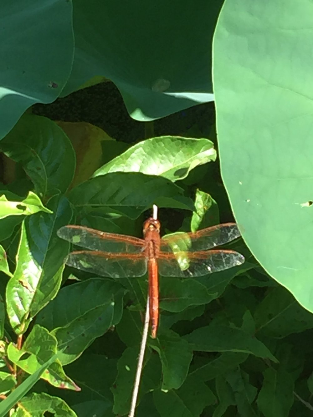 Dragonfly! Also lots of frogs (heard but not seen).