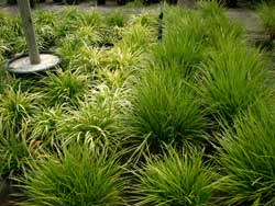 ornamental_grasses.jpg