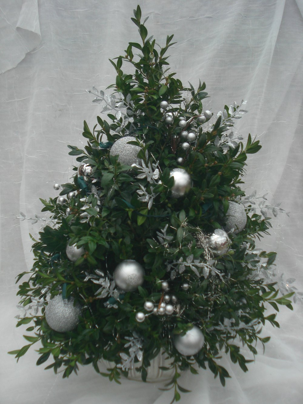 B- Silver boxwood tree.jpg