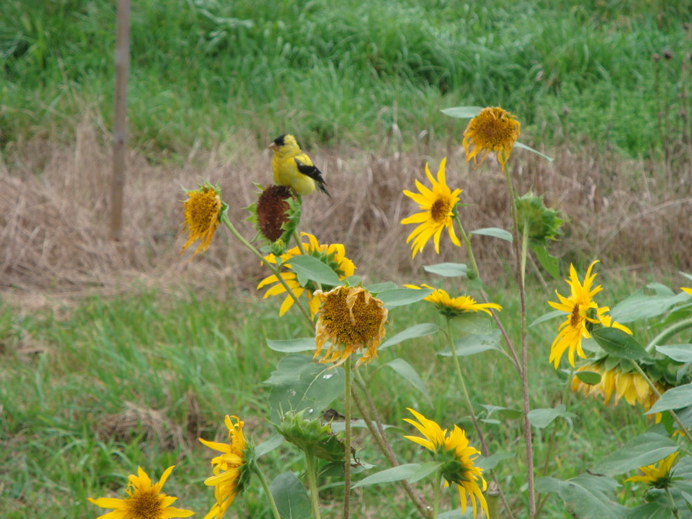 Yellow finch on the sunflower.JPG