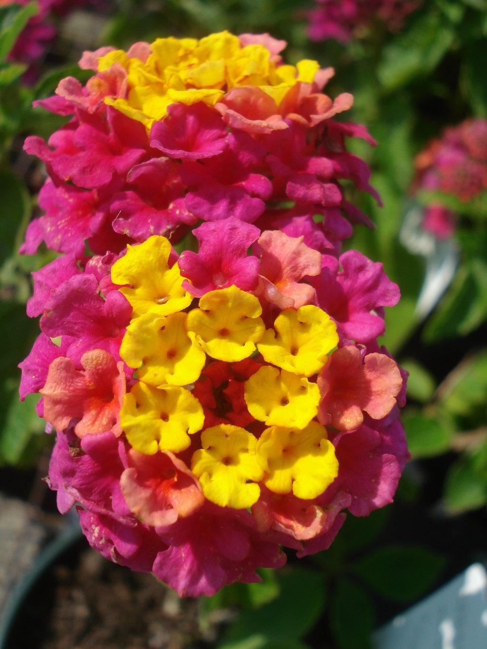 Lantana - Bicolor pink.JPG