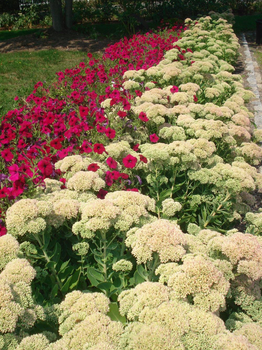 Sedum in bed of flower.JPG