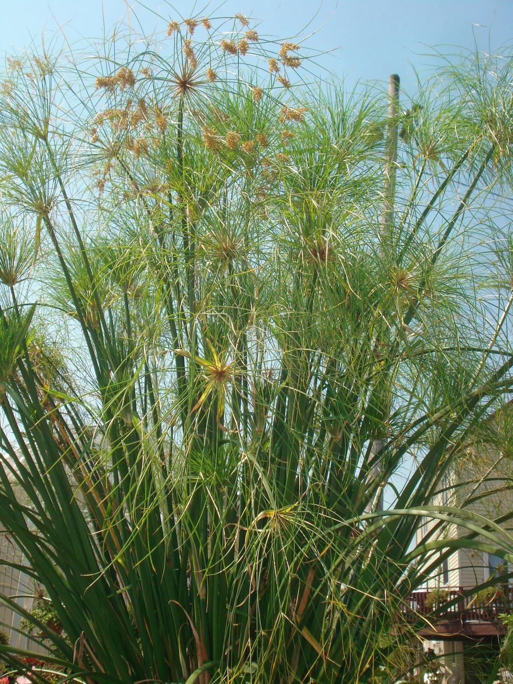 King Tut Grass.JPG