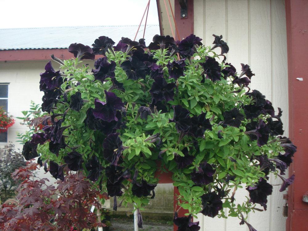 Black petunias.JPG