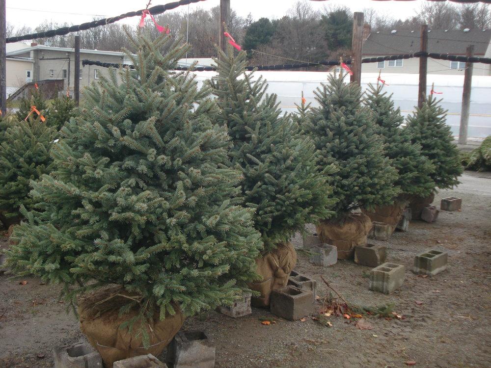 Blue Spruce Trees.JPG