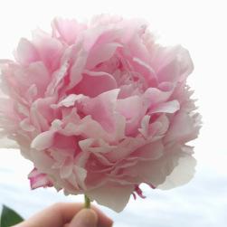 pinkpeonie.jpg