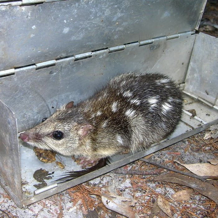 quoll in trap.jpeg