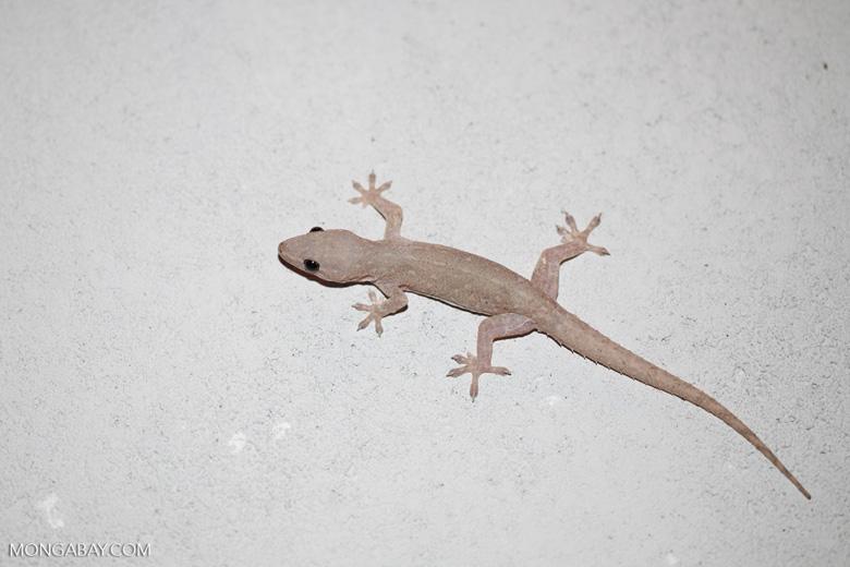 Asian House Gecko.jpg