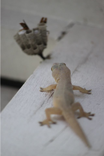 Asian house gecko with some paper wasps in the backgroud