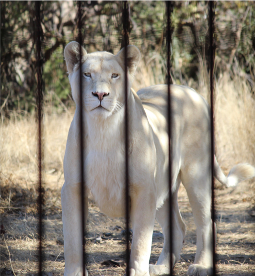 White lion in South Africa