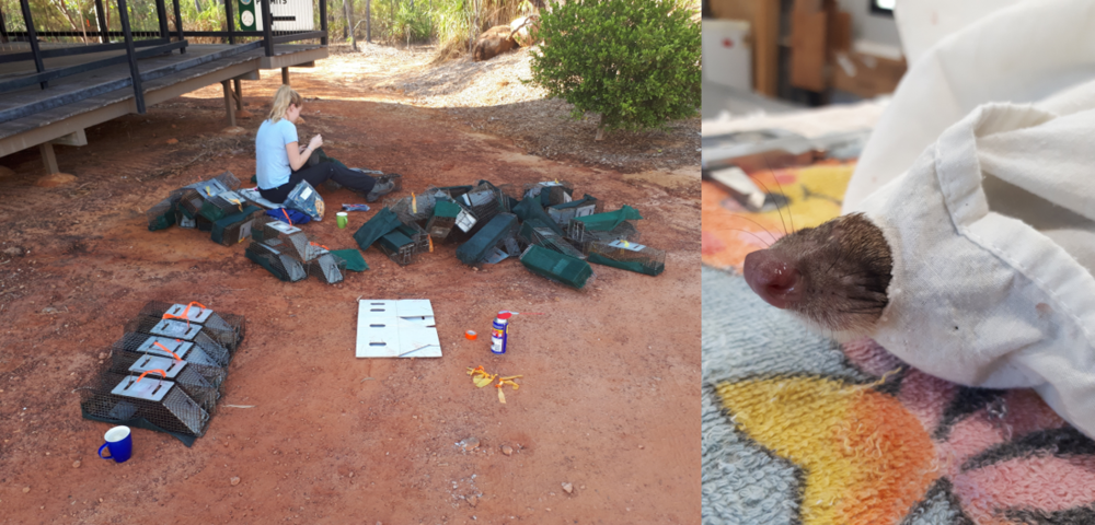 The annual trap repair & grease ; A breath of fresh air through a rip in the bag for this quoll