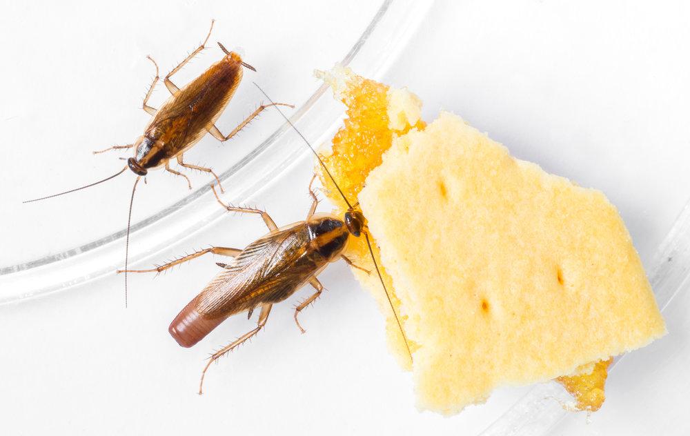 Restaurant Cockroach Pest Control, DE