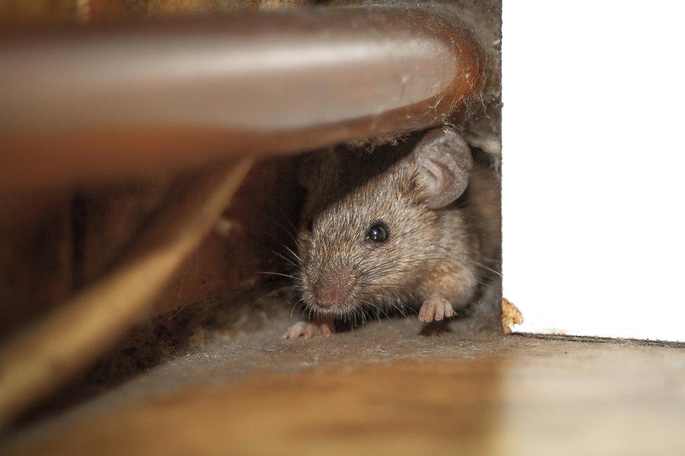 Mice Removal & Control, DE