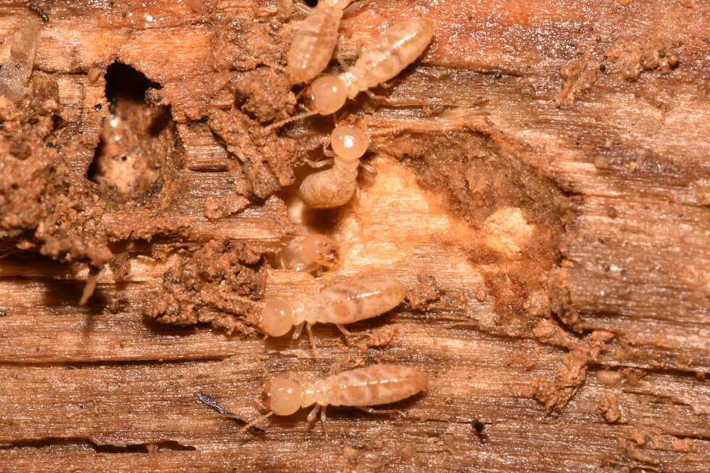 Termite workers wood damage