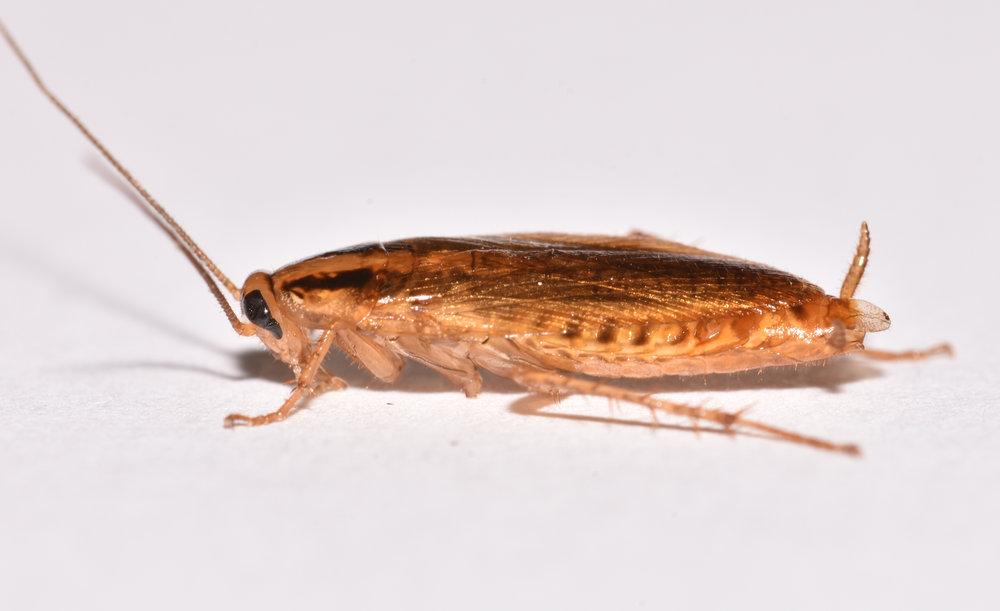 Pest Cockroach Control