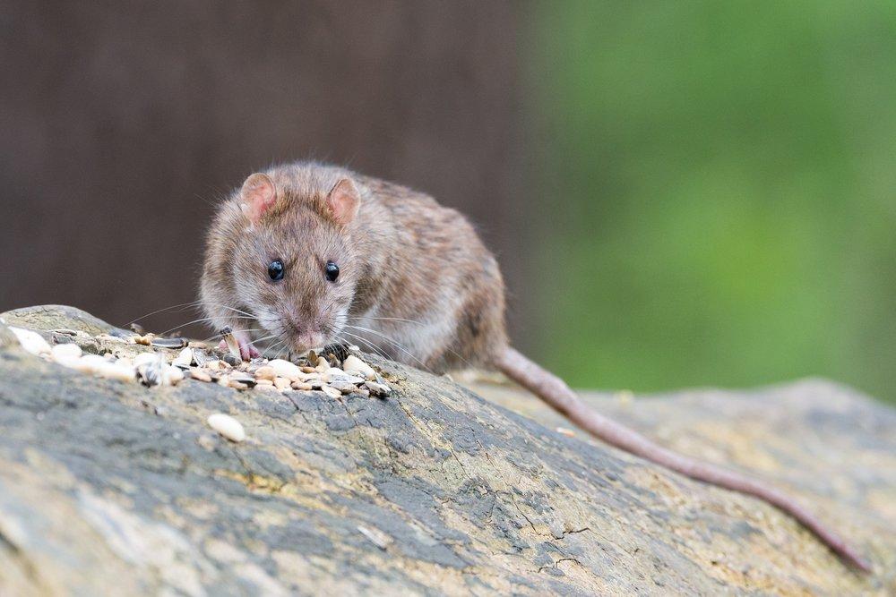 rat pest control, DE