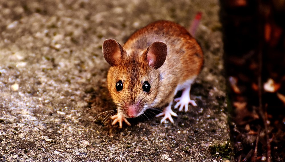 Pest Mice Removal
