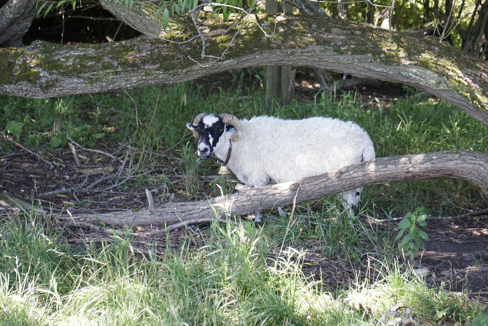 Sheepish Grin