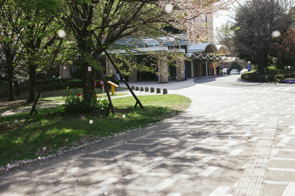 成育医療センターの桜吹雪