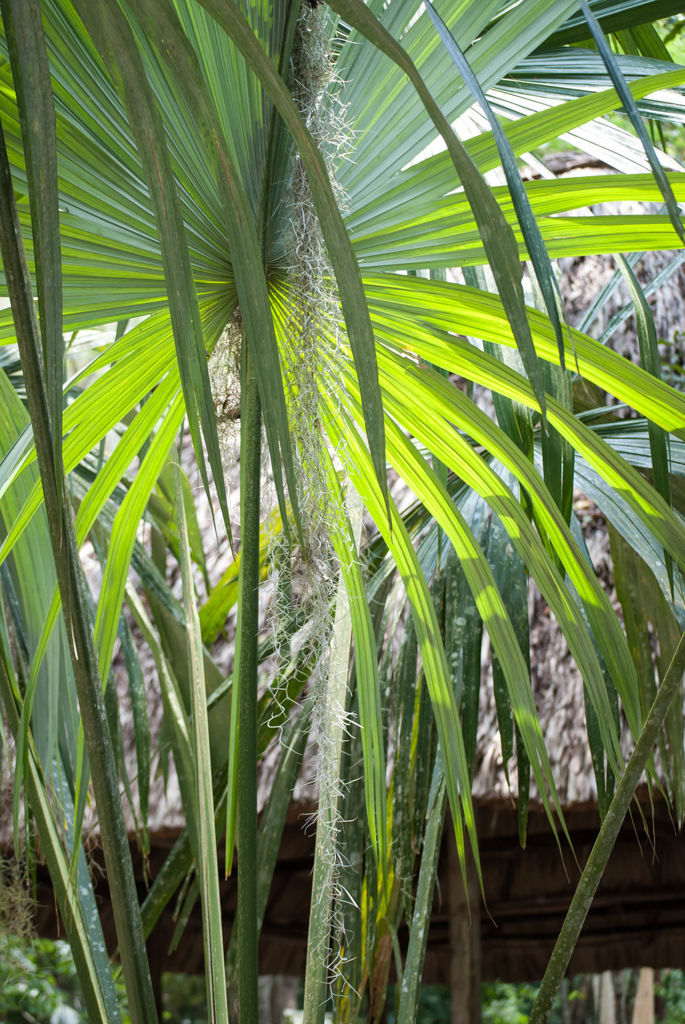 2008 guatemala palms 1 V1.jpg