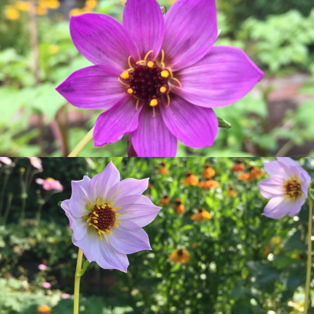 Dahlia merckii - grown from seed. Flowering now in my garden!