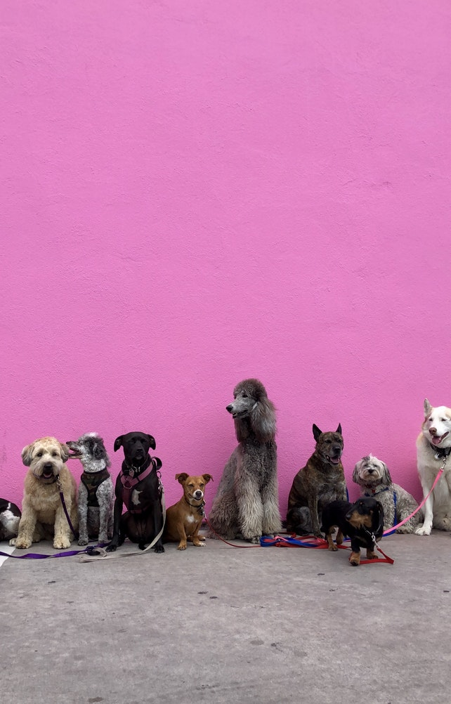 Dogs on pink background