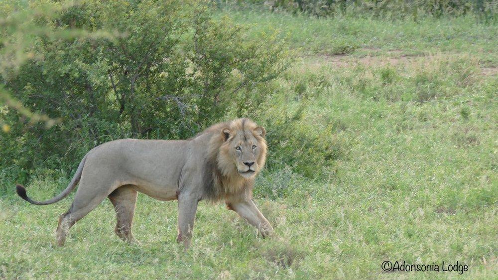 190209 Male lion .jpg