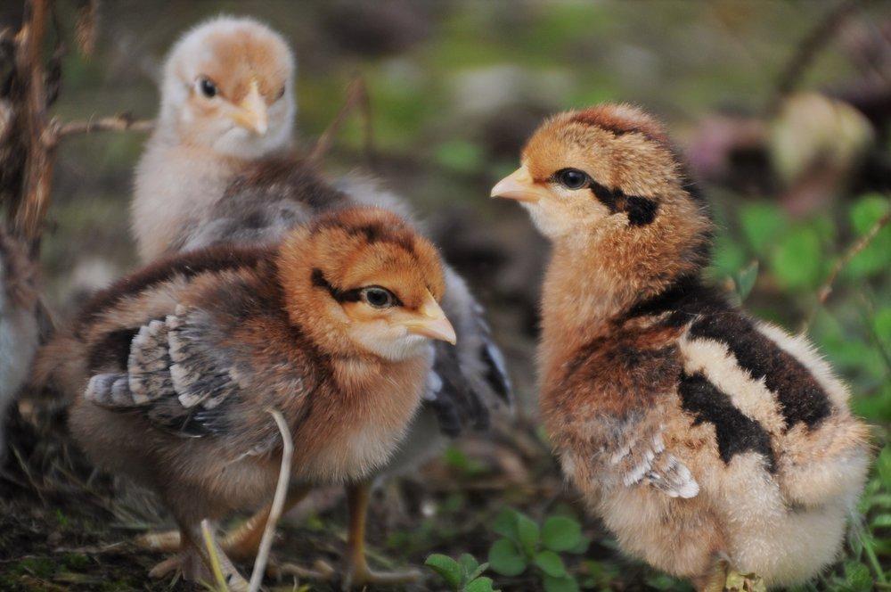 Bielefelder chicks. The females in front, male in back