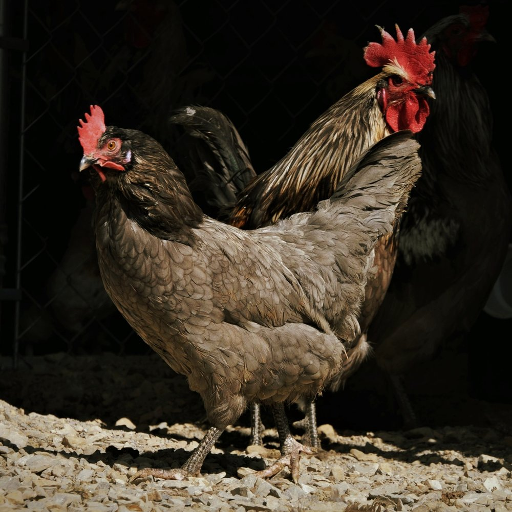 A blue Isbar hen.  The Isbars in this line are Black, Blue and Splash.