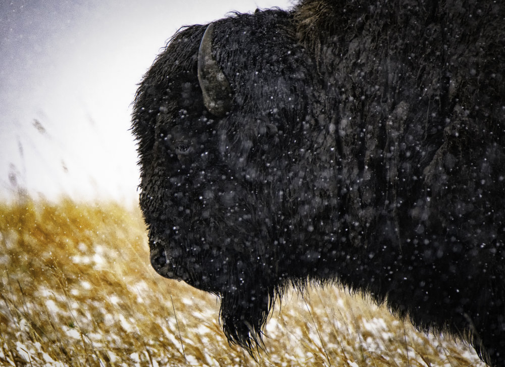 A thoughtful American Bison wonders why the hell it's snowing in the middle of April
