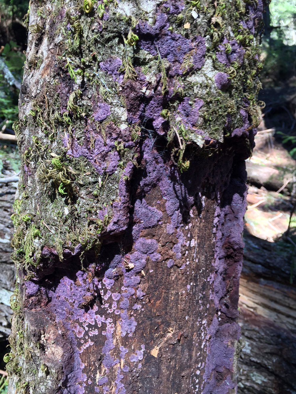 Purple Crust fungus (Phanerochaete crassa)  is the lignin-degrading enzyme system of this fungus.  The fungus decays the lignin in plants and leaves the cellulose behind.  The fungus has a very high optimum temperature (about 40 C), which means it can grow on wood chips in compost piles, which reach high temperatures.