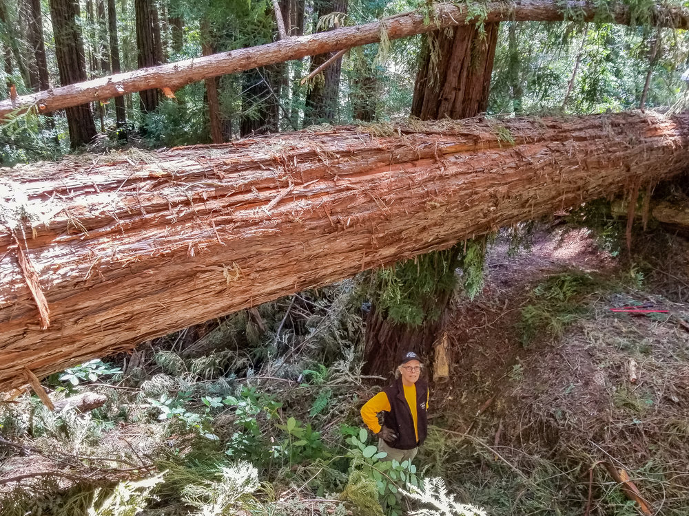 "40"" Redwood the largest of 5 trees down near Waterman Gap"