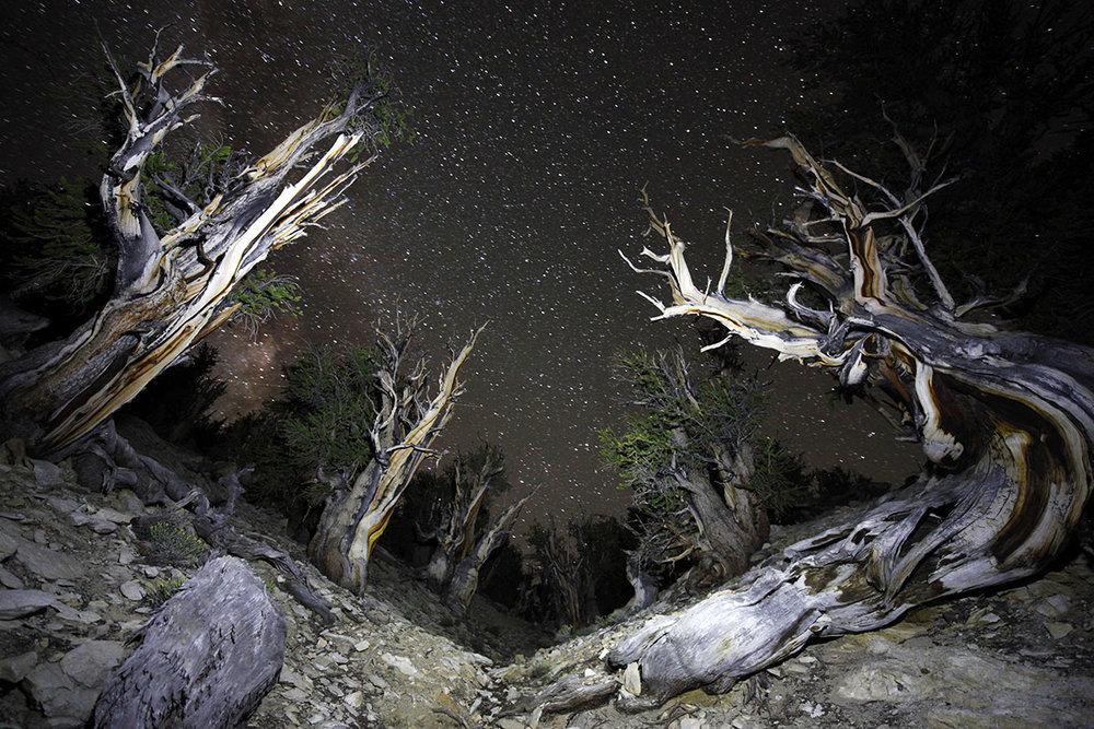 Bristlecone Pines at night