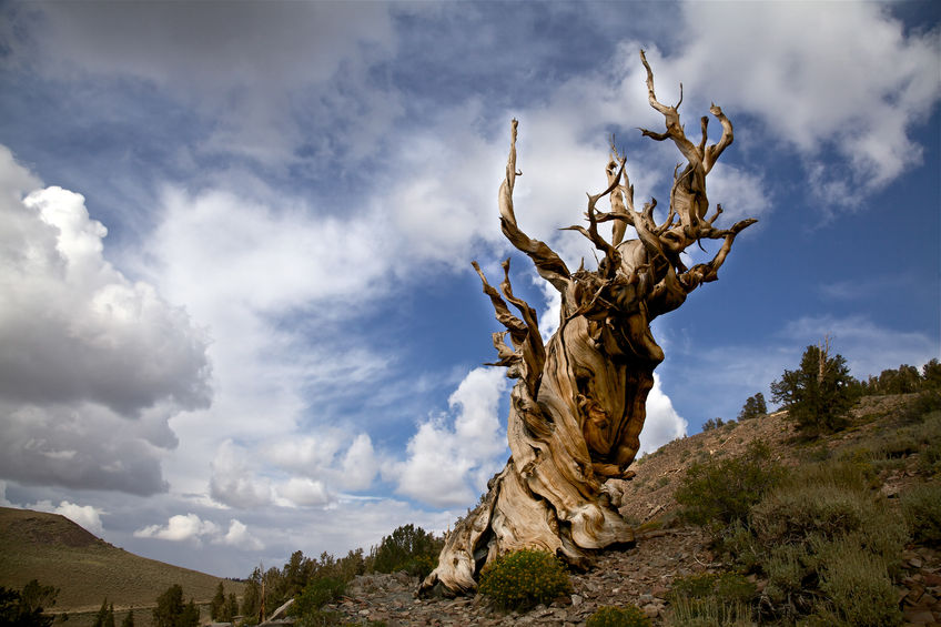 Ancient Bristlecone Pines are the oldest trees on the planet
