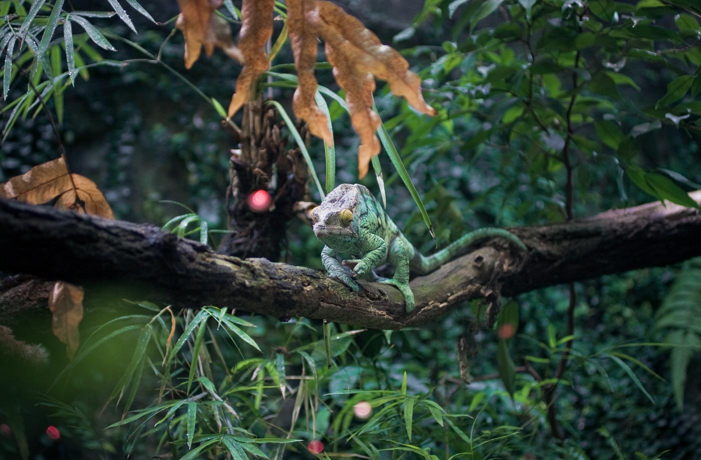 Chameleon, Pondering