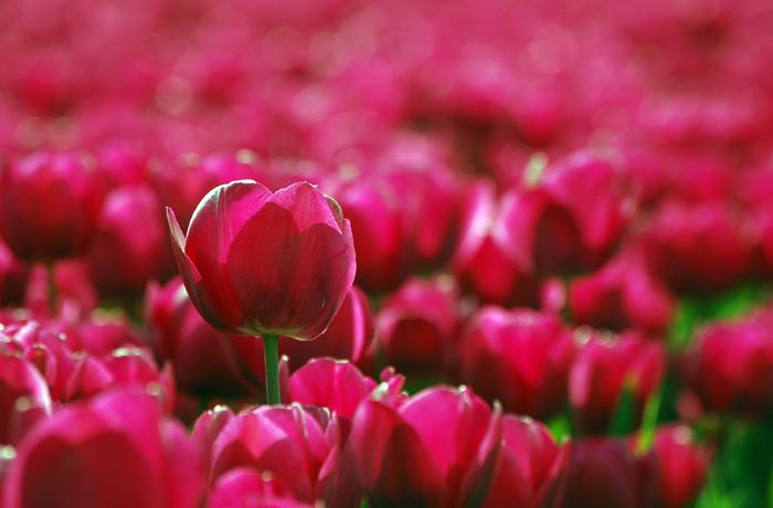 jh0249_tulip.jpg
