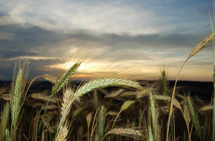 jh0287_wheat.jpg