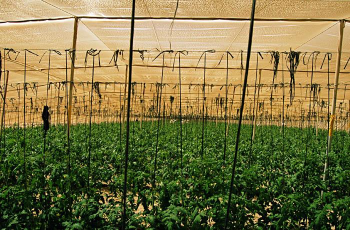 jh0331_tomato.jpg