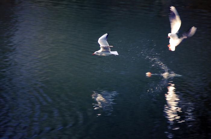 jh0386_seagull.jpg