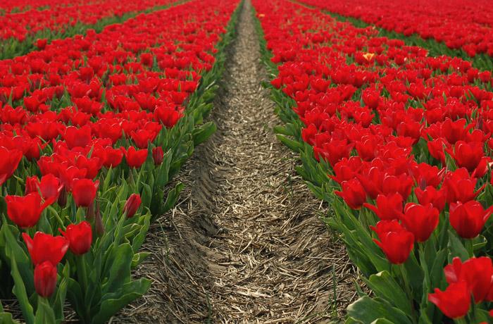 jh0410_tulips.jpg
