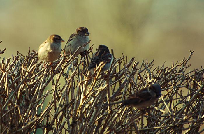Row of sparrows