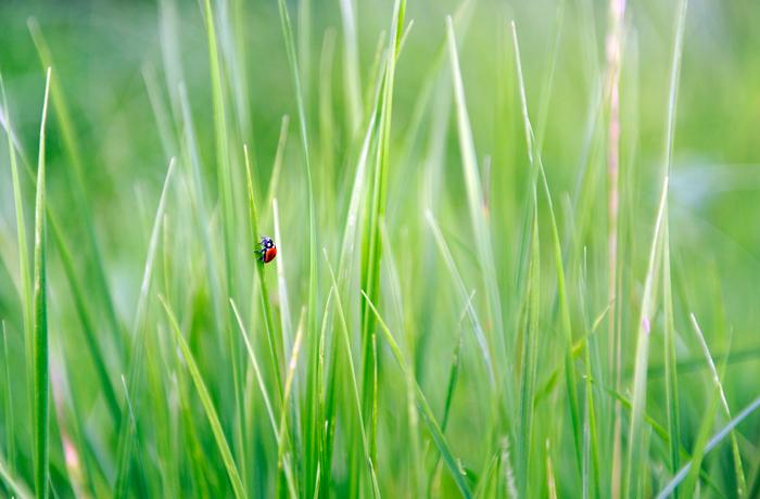 ladybeetle