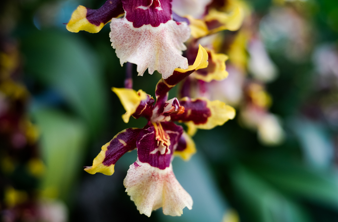 EH1497_Orchid