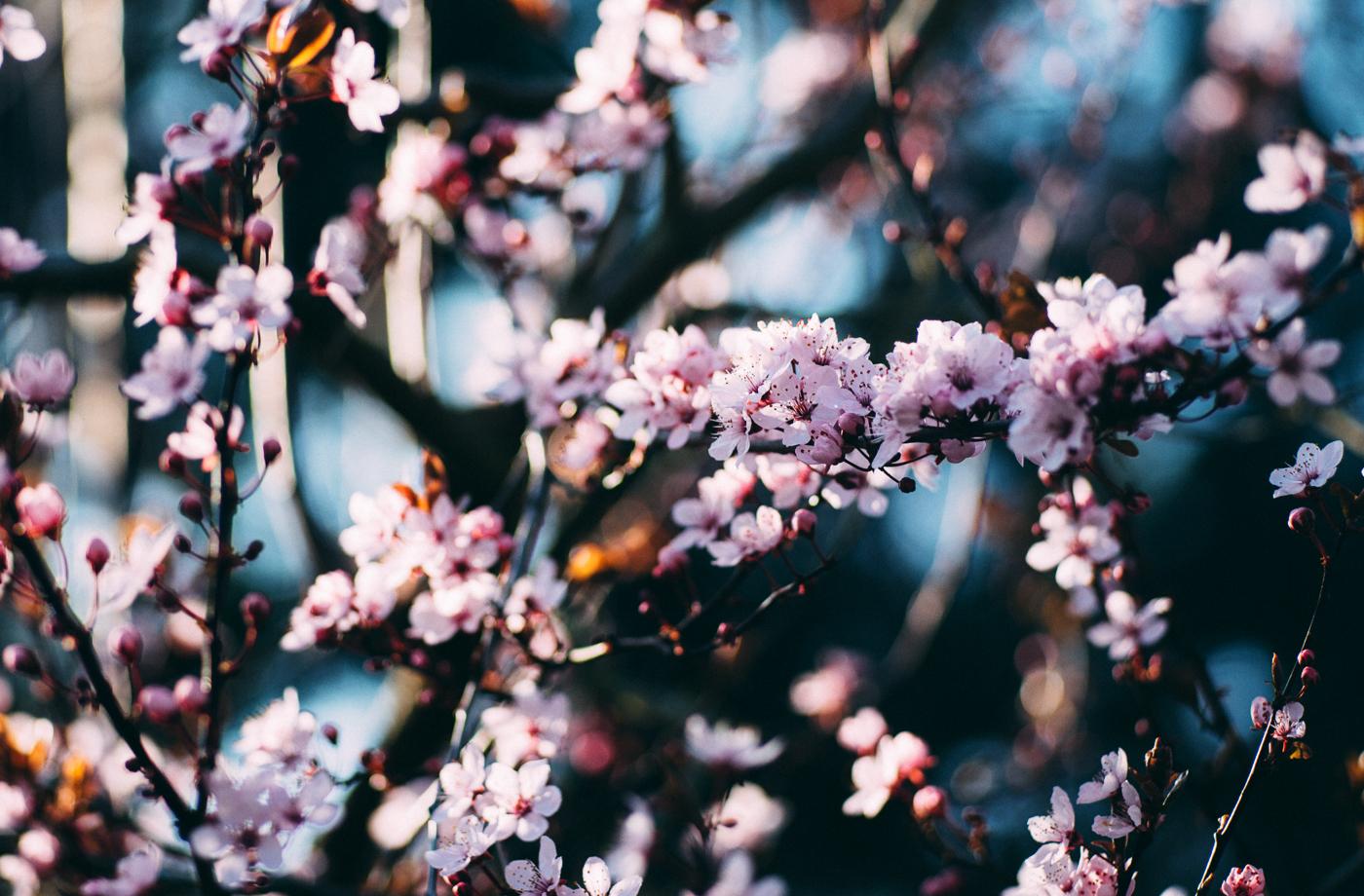 jh1809_blossom
