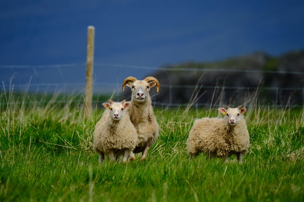 EH2071_Icelandic-Sheep.JPG