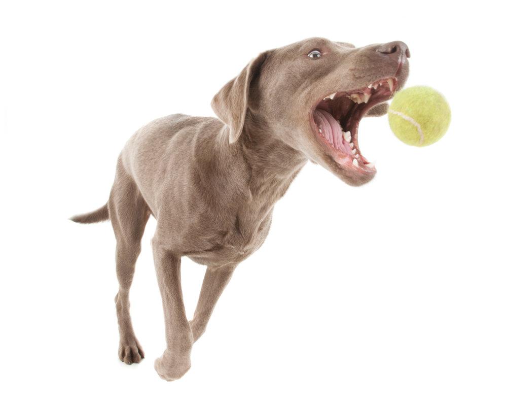 Silver Labrador Retriever2.jpg