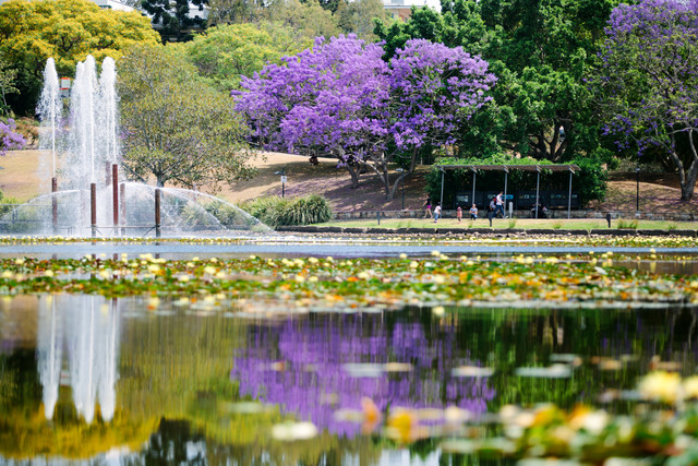 A flowering jacaranda by The University of Queensland lake. Image  ©  The University of Queensland, used with permission.