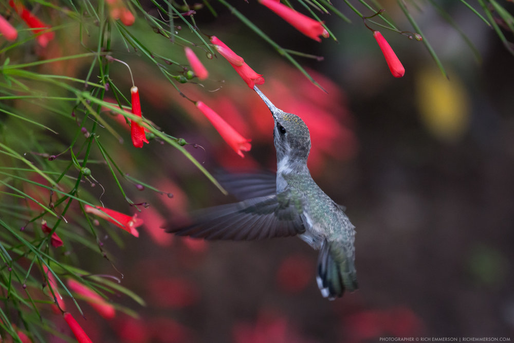 Humming Bird in Loreto Bay 4.jpg