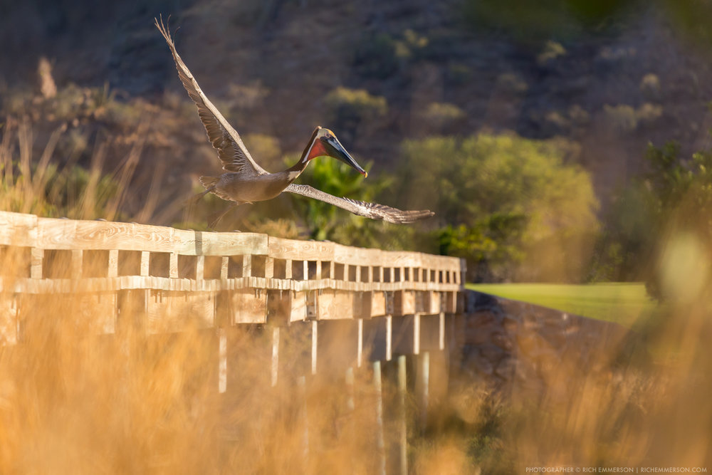 Pelican taking off Bridge.jpg